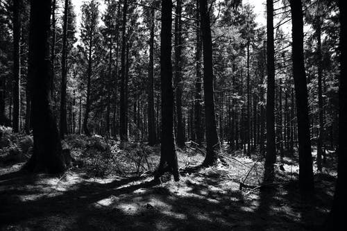 Free stock photo of black and white, forrest, gloomy, mother nature