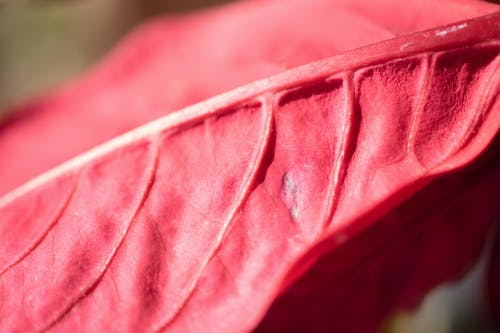 Free stock photo of foliage, red, red leaf, summer