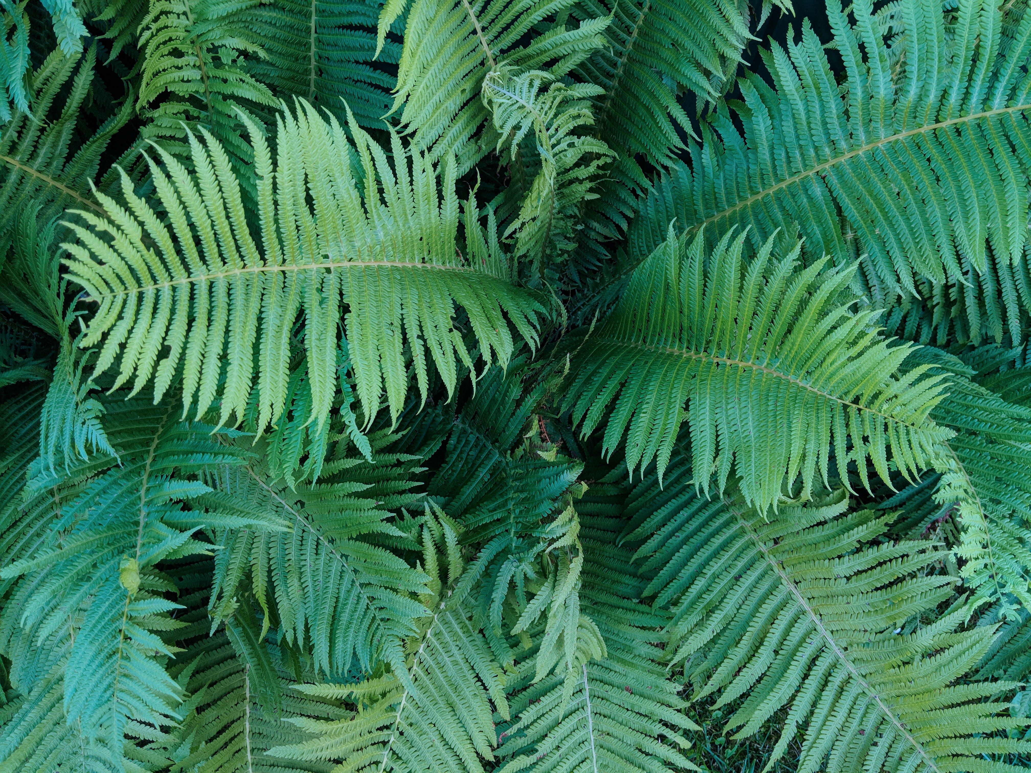 Kostenloses Stock Foto zu farn, grün, immergrün