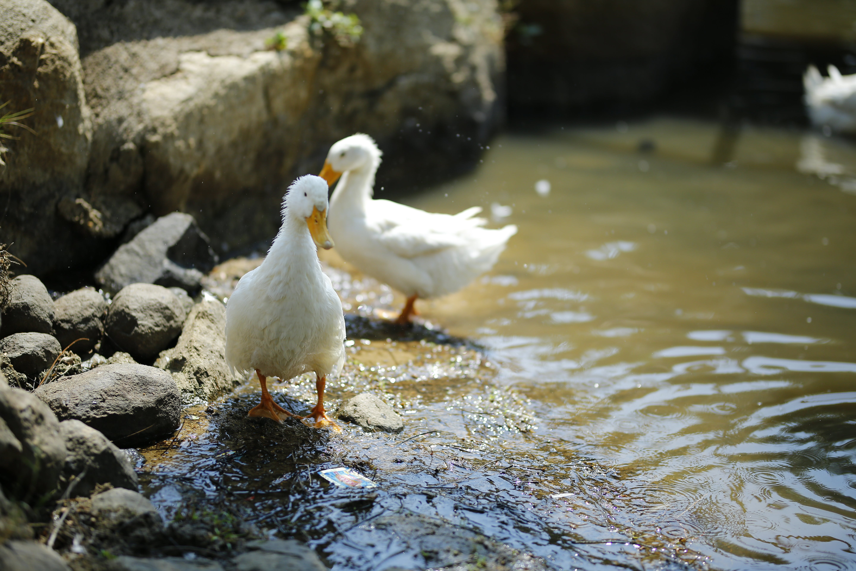 Kostnadsfri bild av ankor, djur, fjäder, fjäderfän