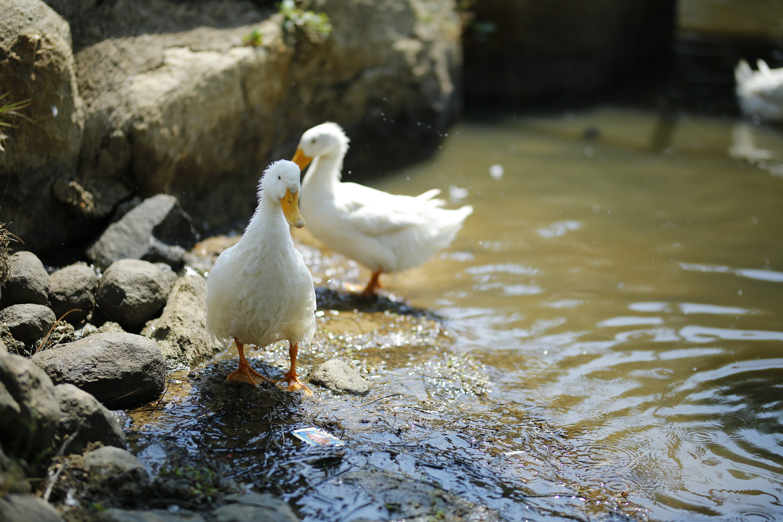 Two White Ducks Near Body of Water