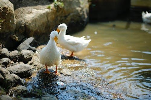 Fotos de stock gratuitas de acicalándose, agua, animal, aves de corral