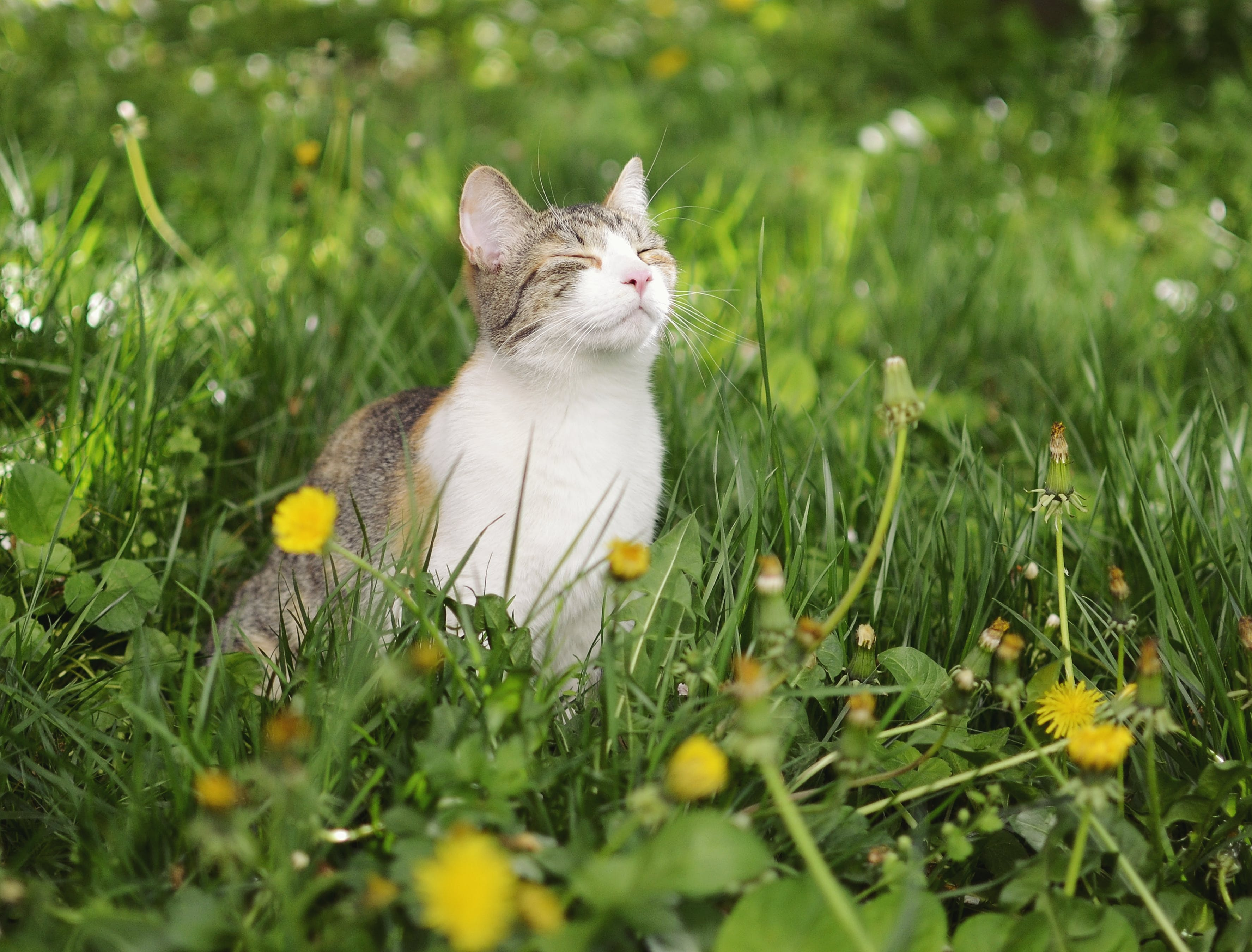 Free stock photo of cat, dandelion, grass, green