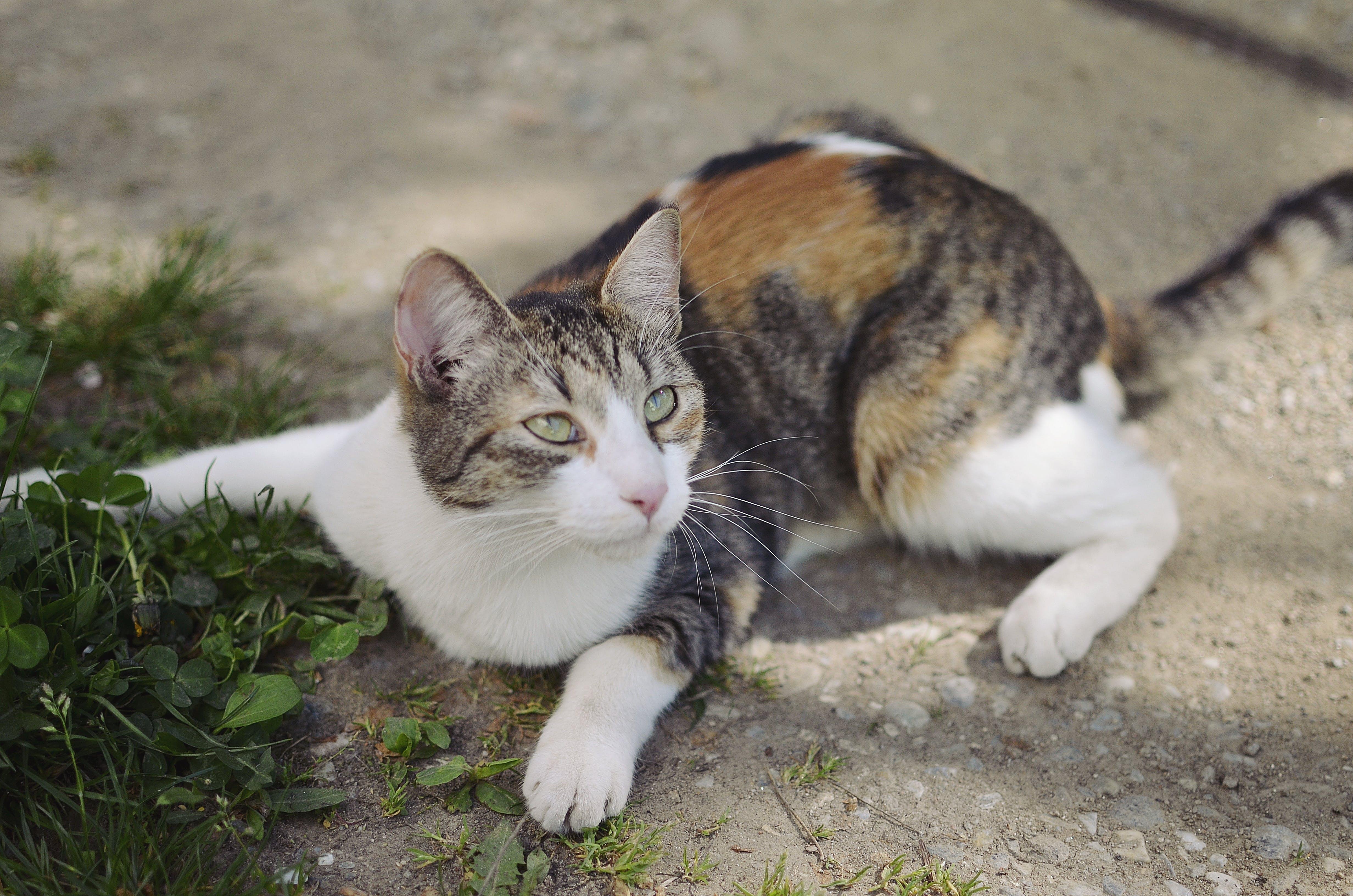 Free stock photo of cat, lying