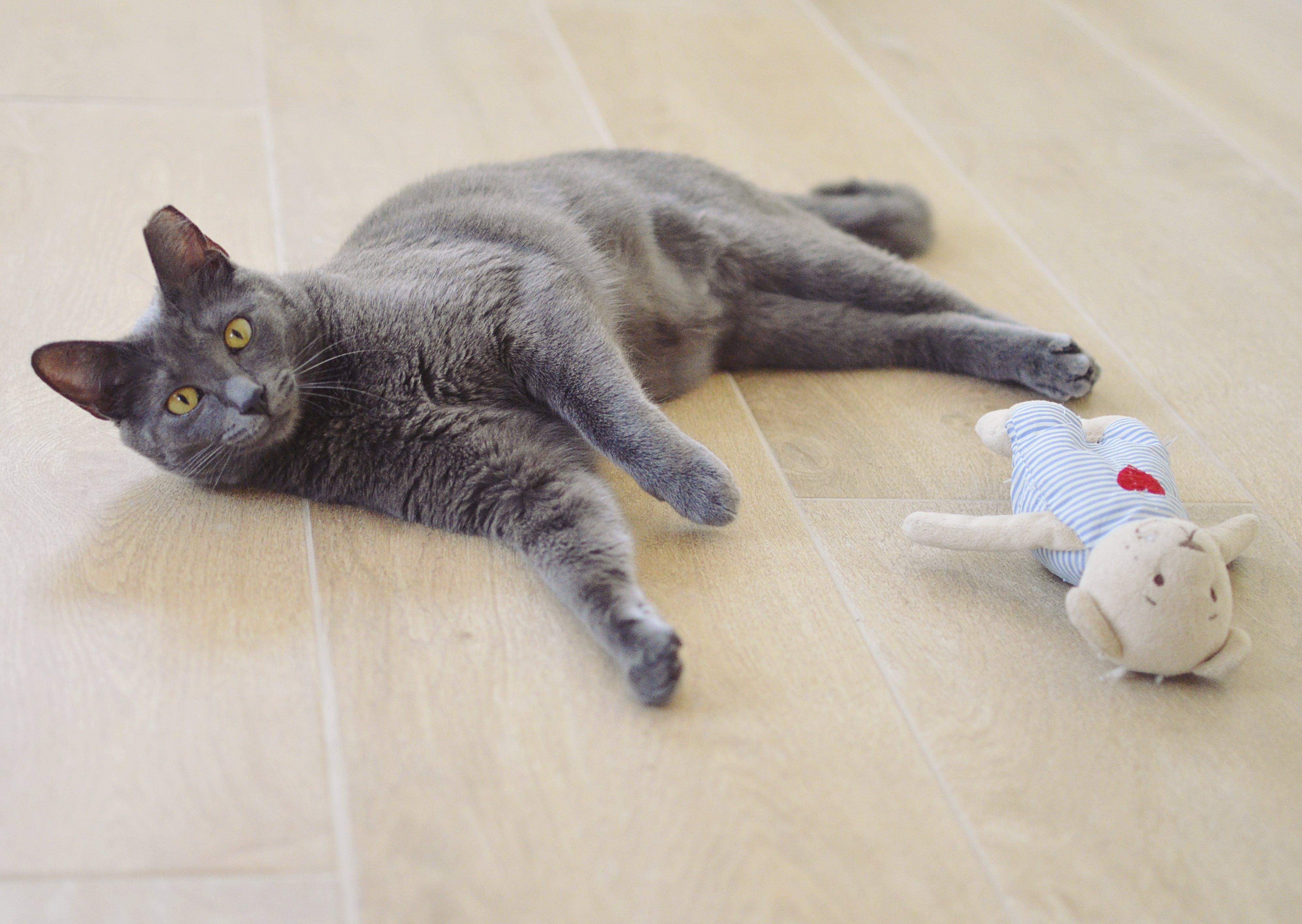 Free stock photo of cat, grey, lying, toy