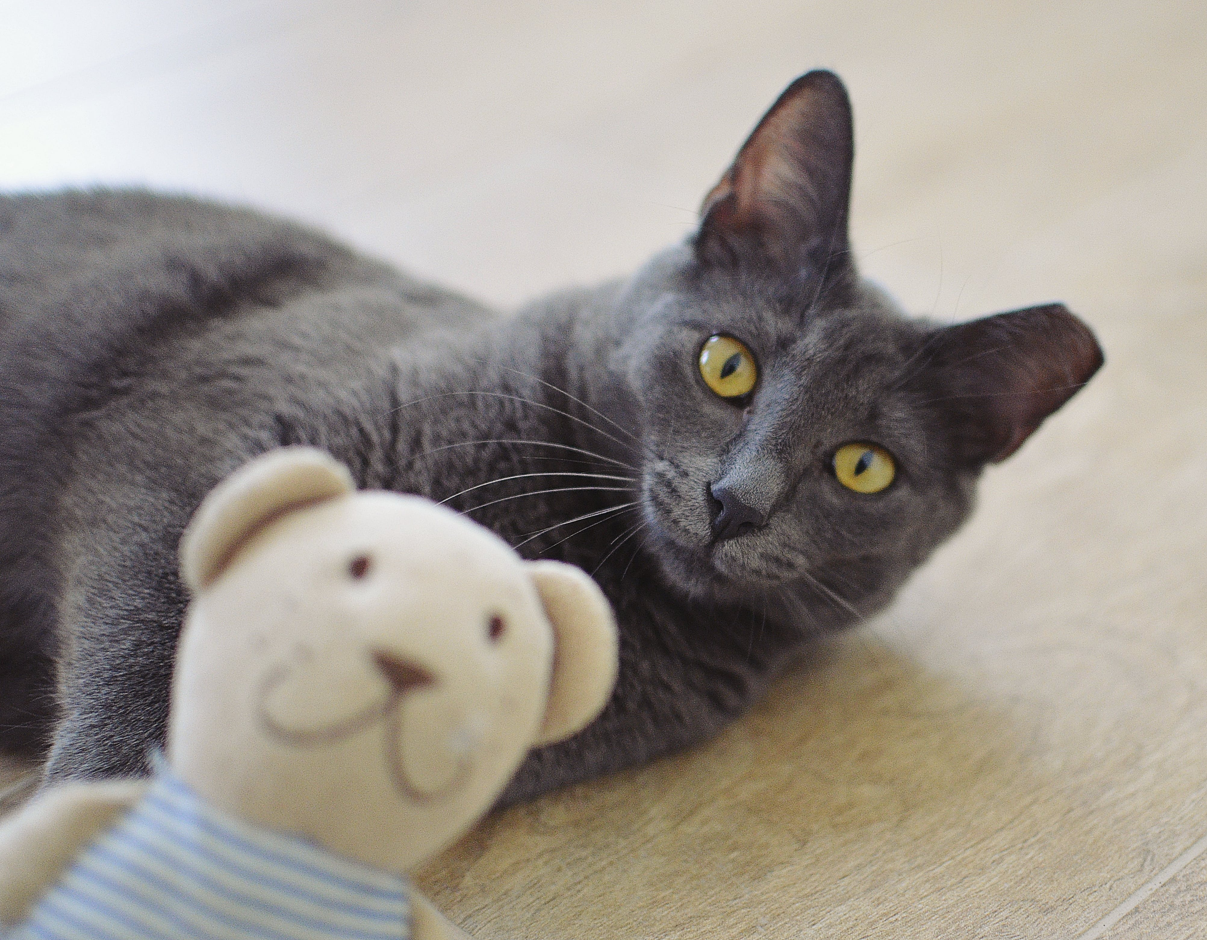 Free stock photo of grey, cat, lying, toy