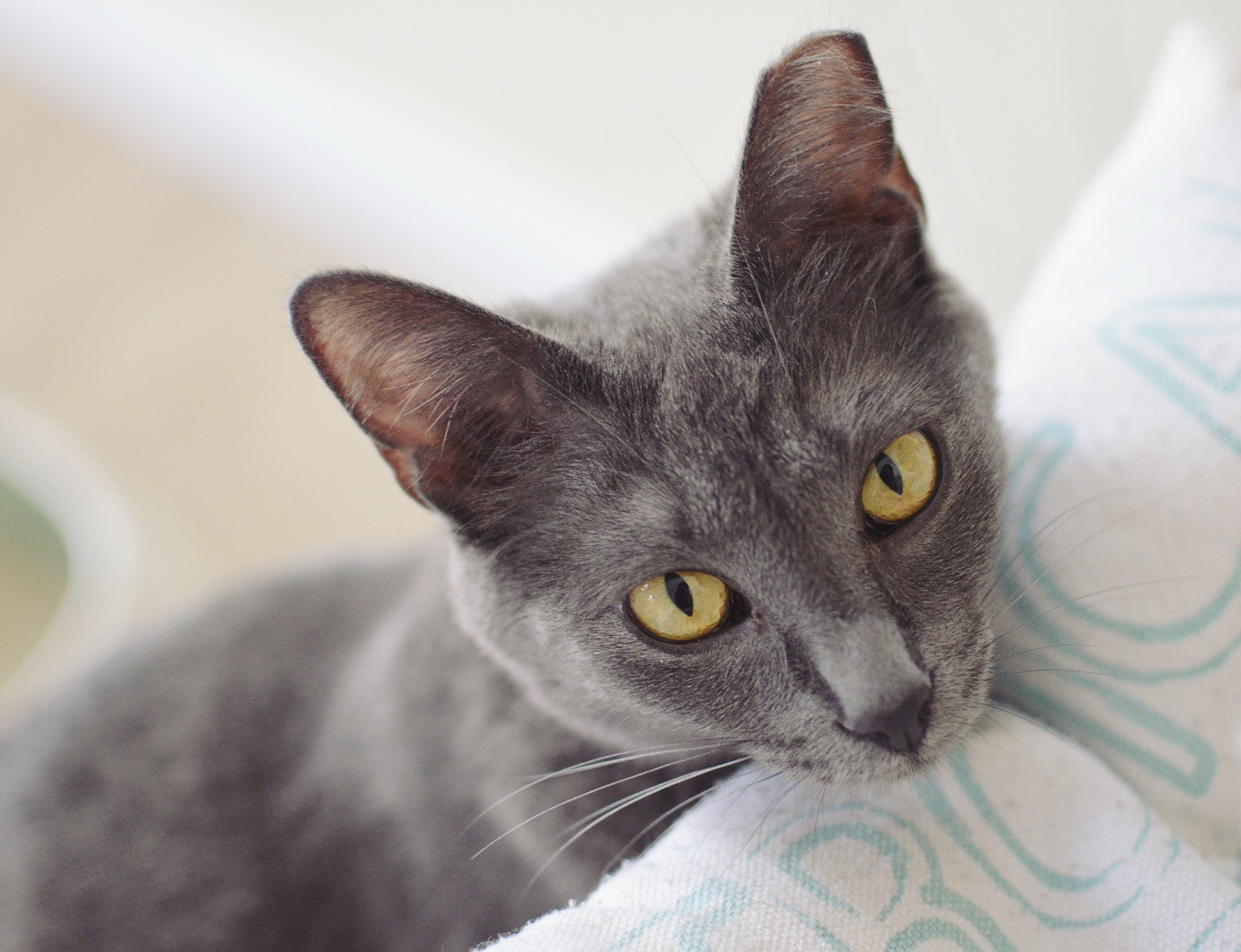Free stock photo of grey, cat