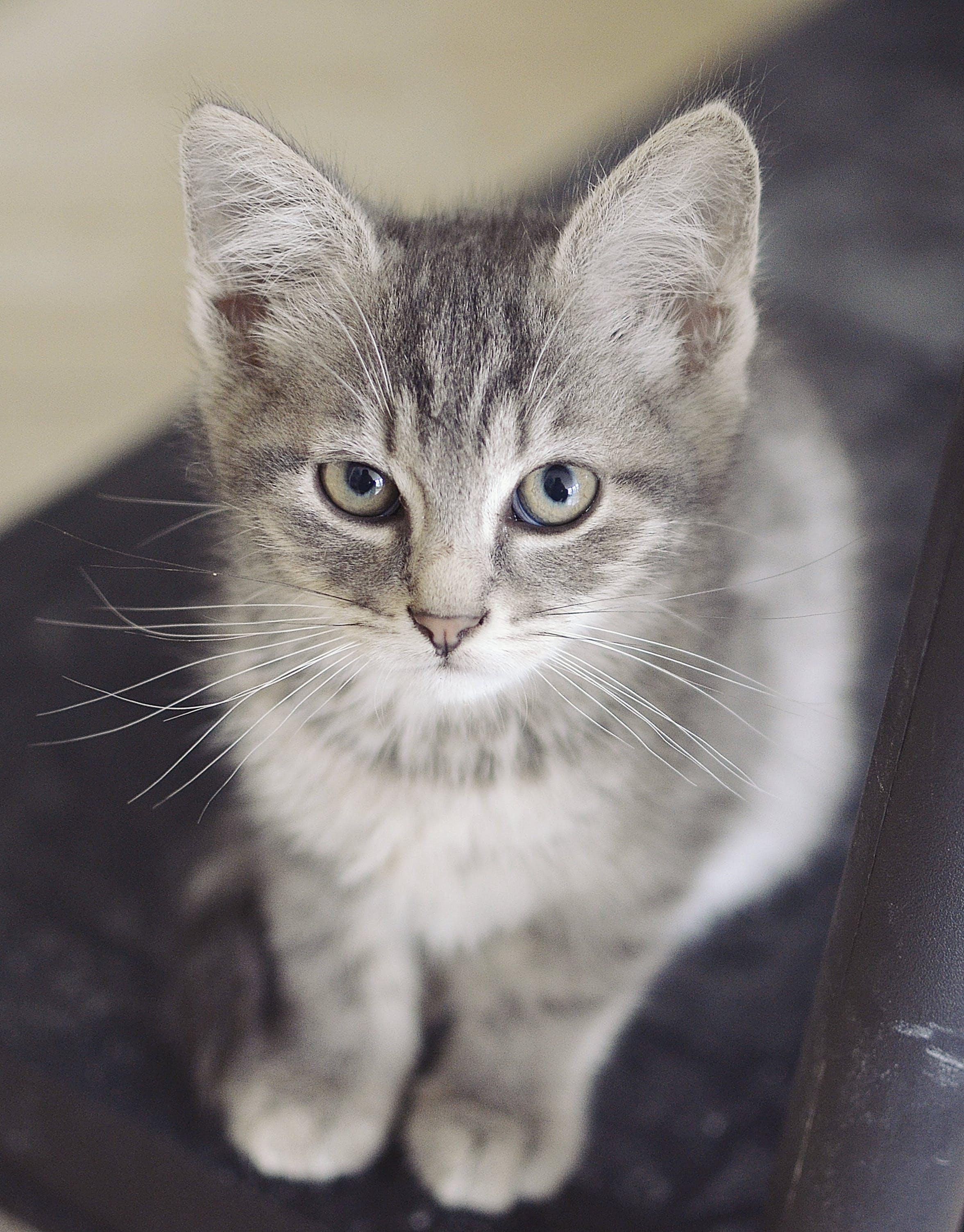 Free stock photo of sitting, grey, kitten