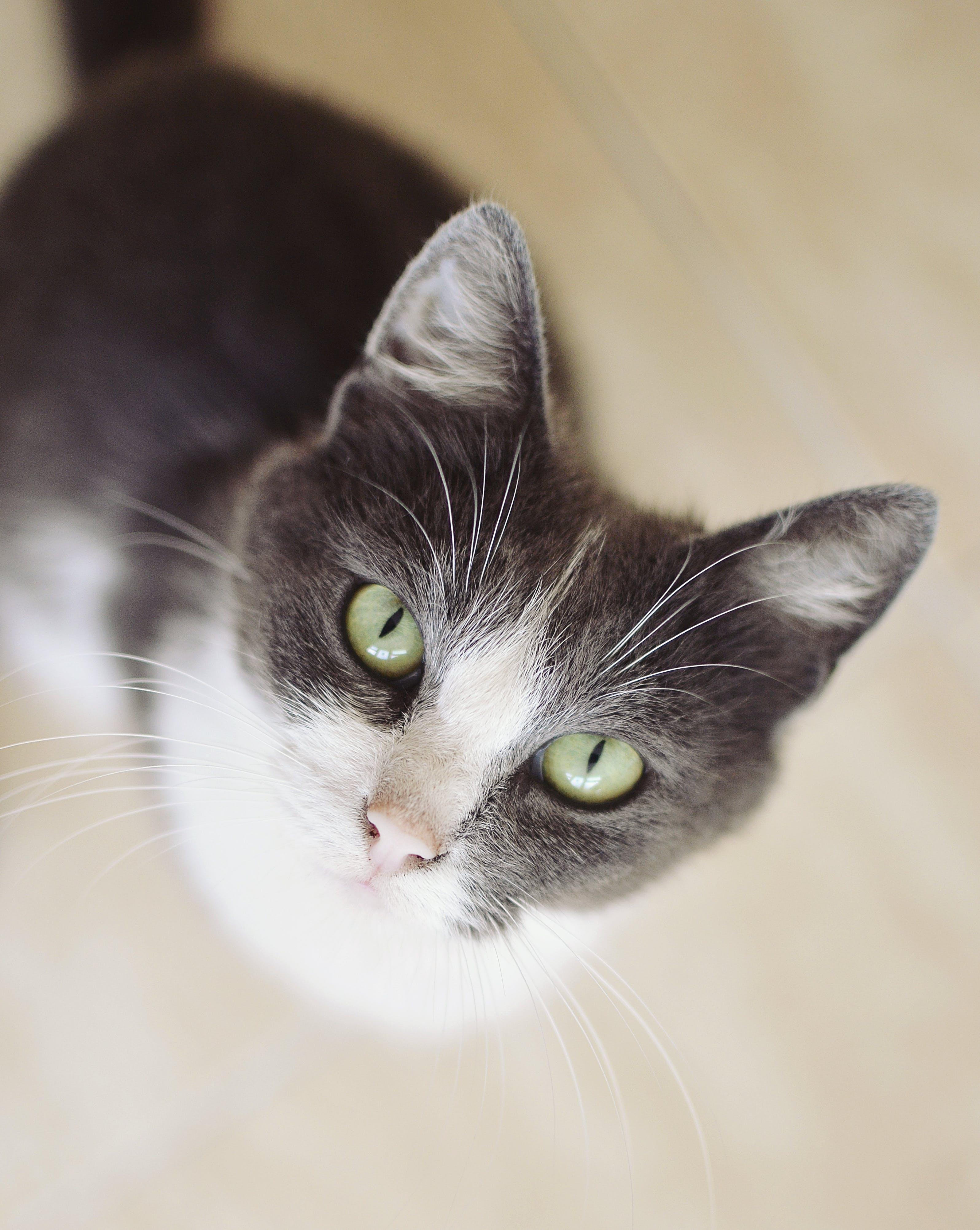 Free stock photo of cat, looking up, green eyes, headshot