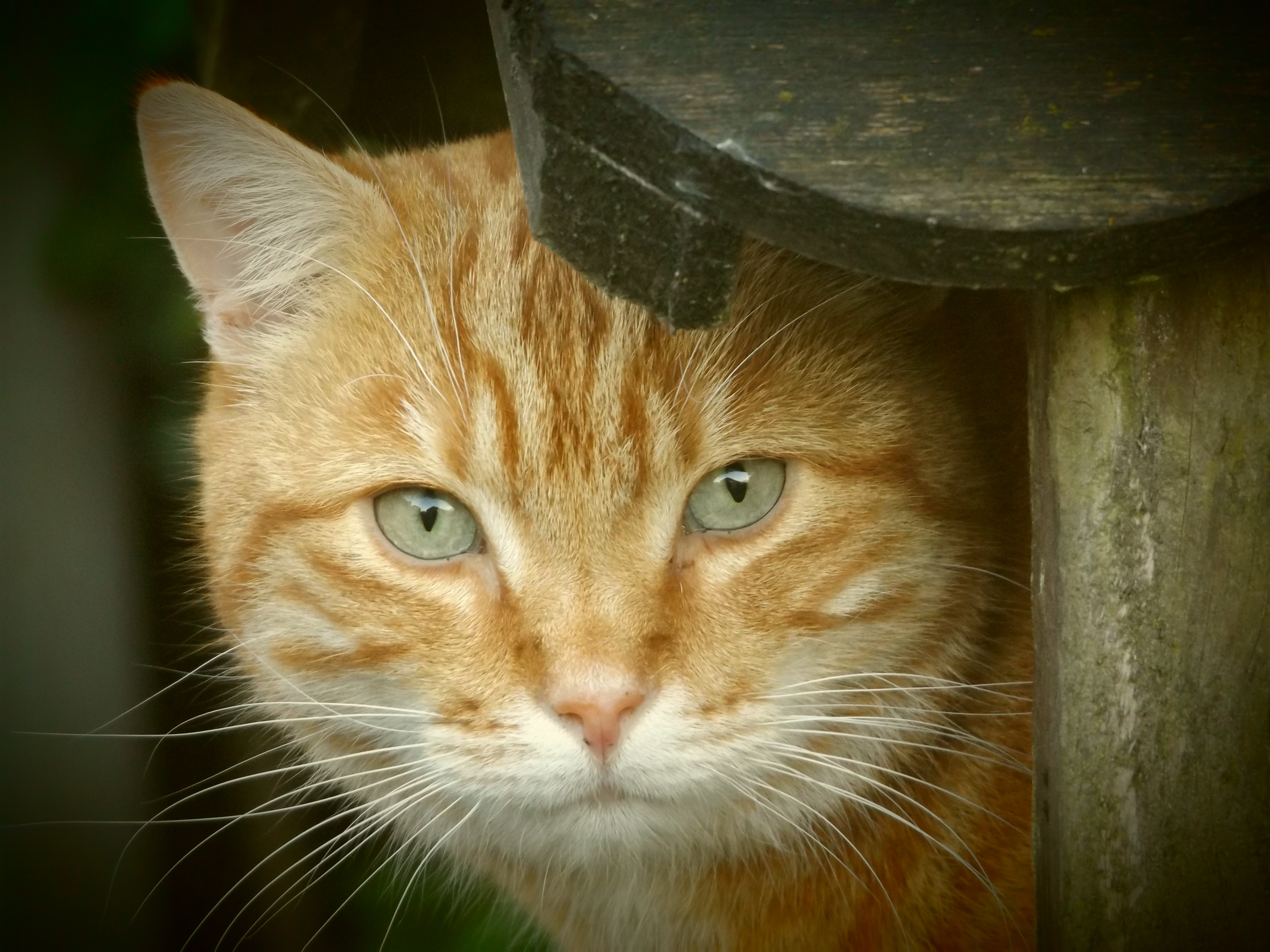 orange tabby cat  u00b7 free stock photo