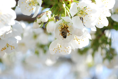 Selective Photo of a Bee in White Petaled Flower during Daytime