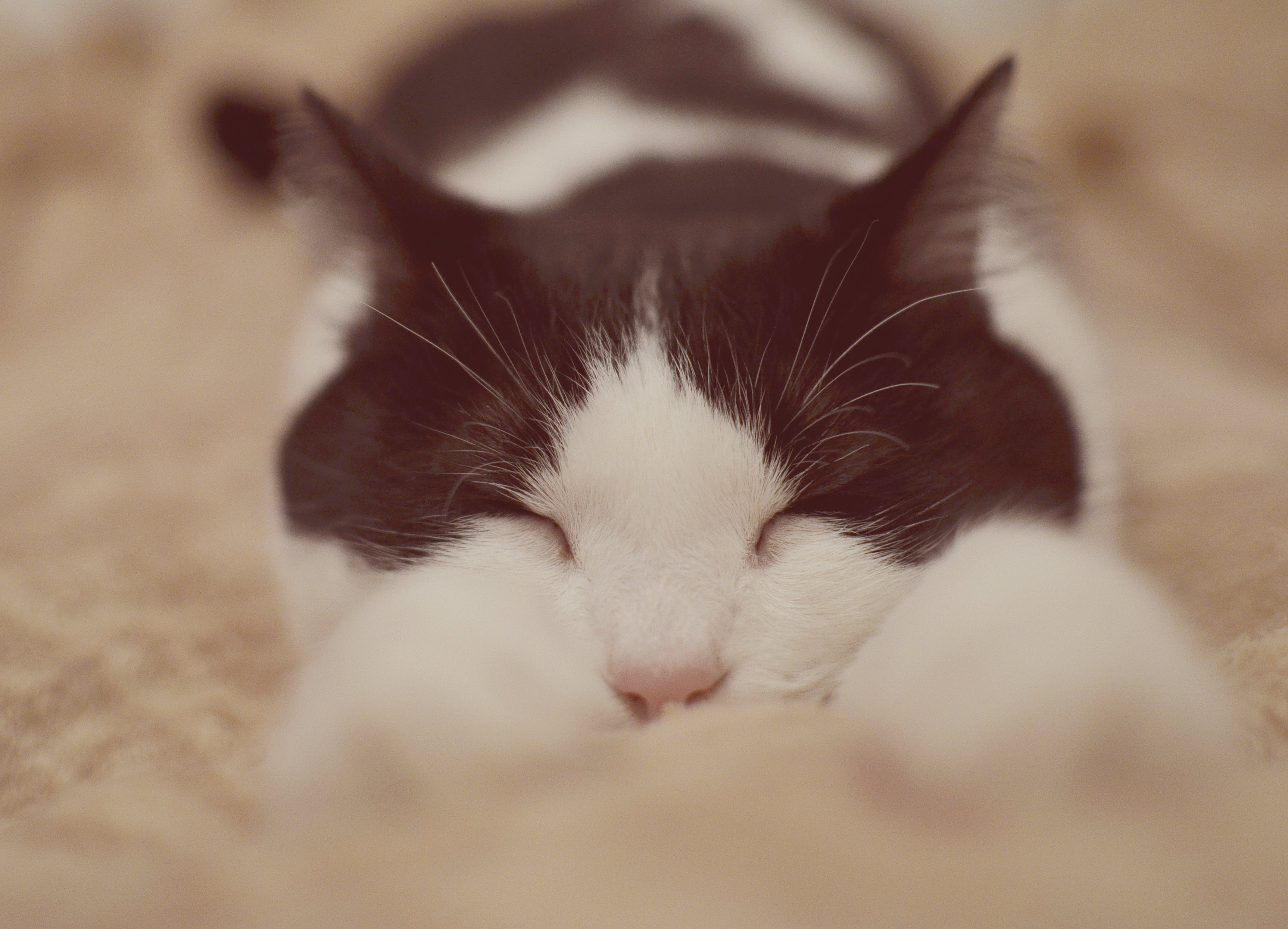 Free stock photo of bed, white, paws, lying