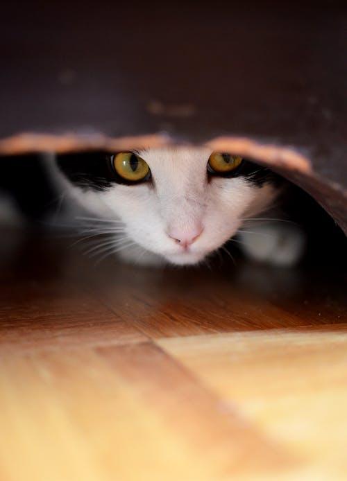Foto d'estoc gratuïta de amagant, aparador, fet i amagar, gat