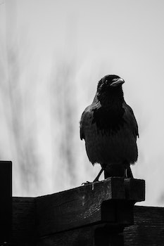 Crow Perched on Brown Wooden Plank