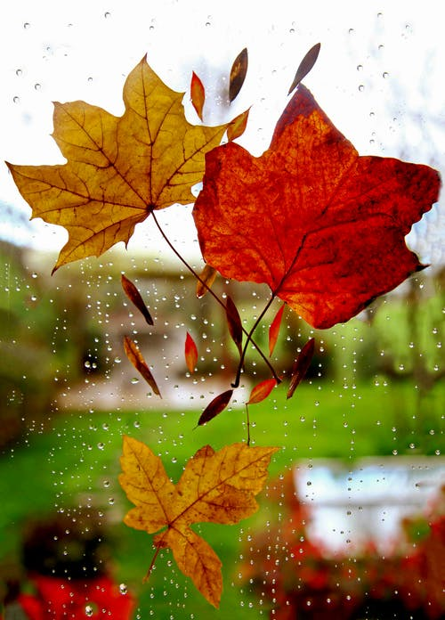 Three Maple Leaves On Window