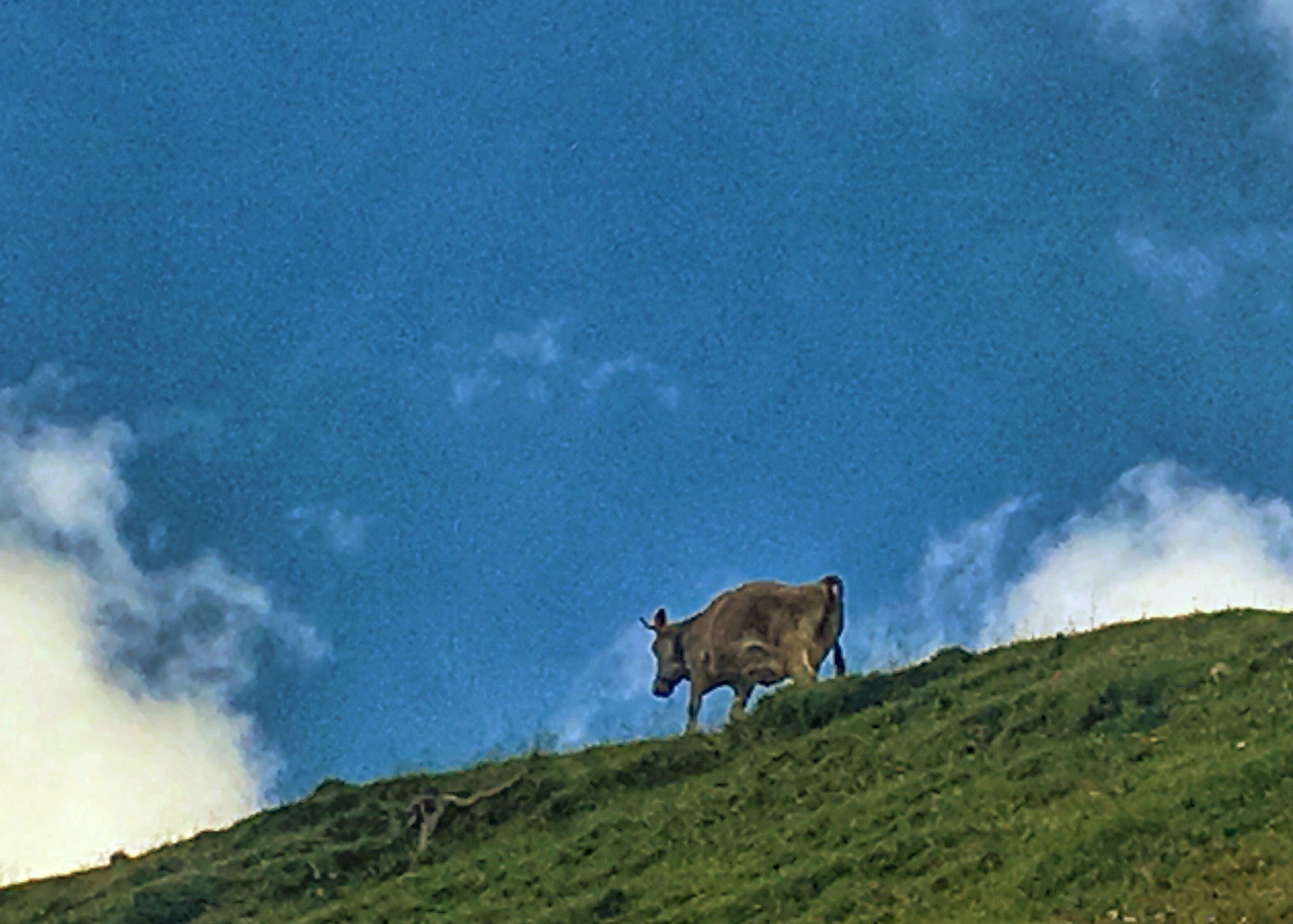 Free stock photo of cow, swiss alps, switzerland