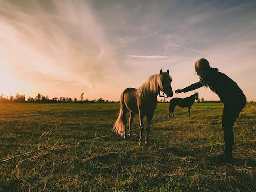 Foto d'estoc gratuïta de alba, bestiar, camp, dona