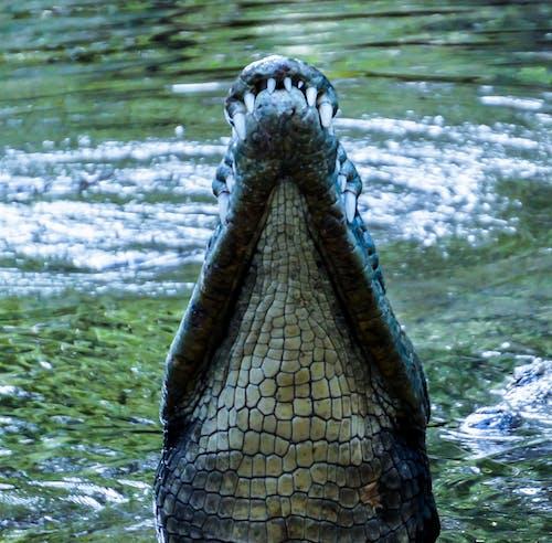Darmowe zdjęcie z galerii z afryka, fotografia zwierzęcia, kenia, krokodyl