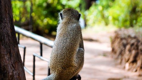 Foto profissional grátis de macaco, mombaça, orfanato, parque