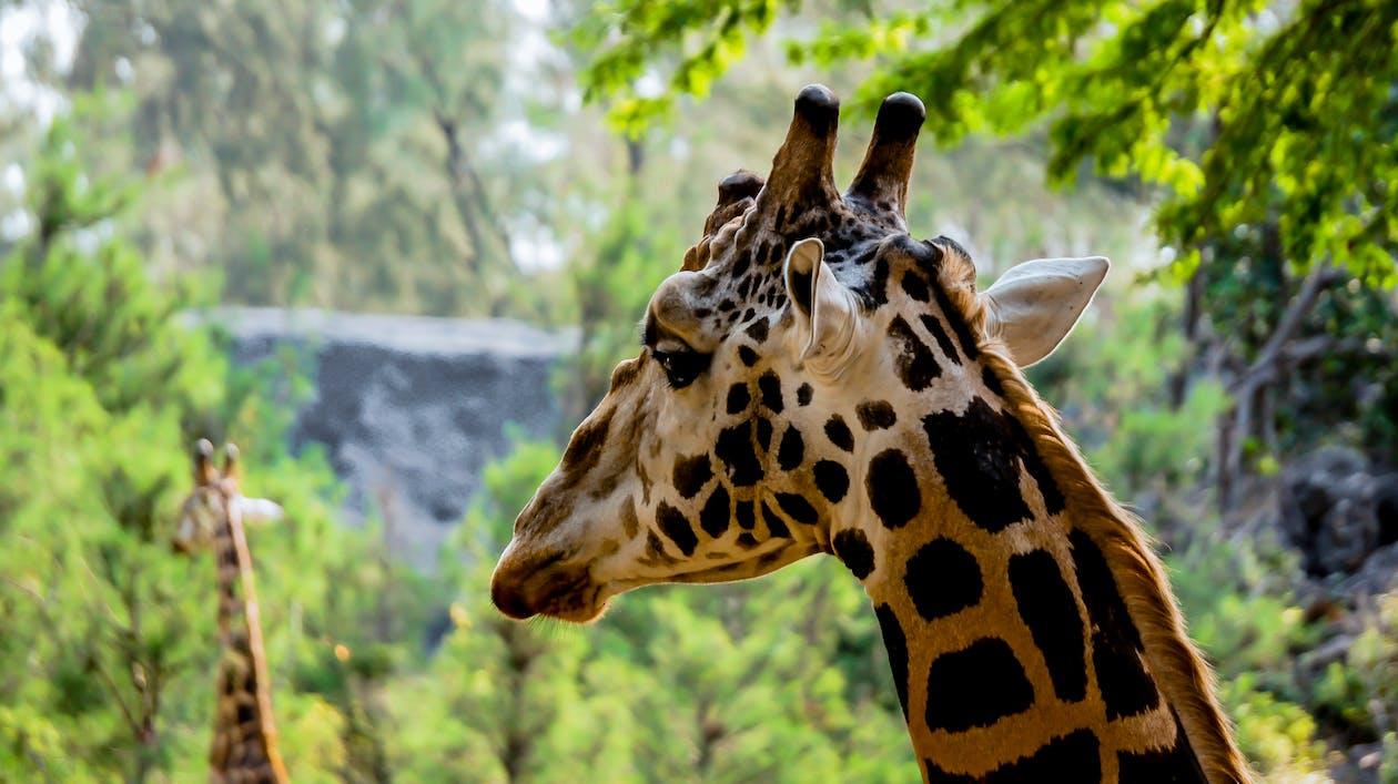Àfrica, girafa, Kenya