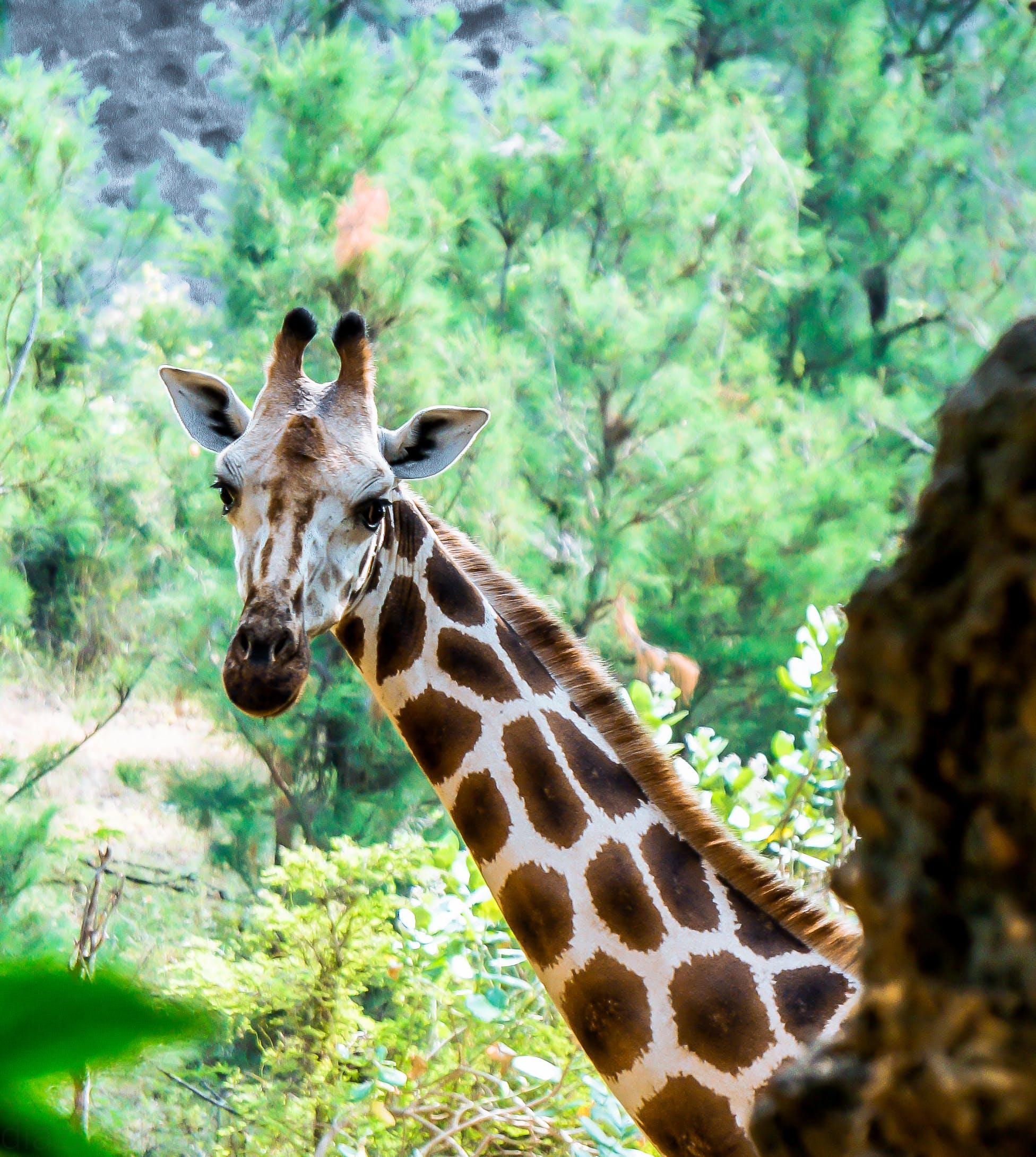 Free stock photo of africa, animal park, animal portrait, giraffe