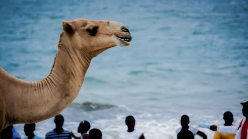 Foto profissional grátis de África, camelo, mombaça, oceano