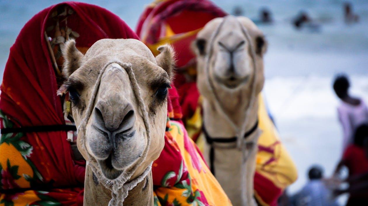 afrika, hav, kamel