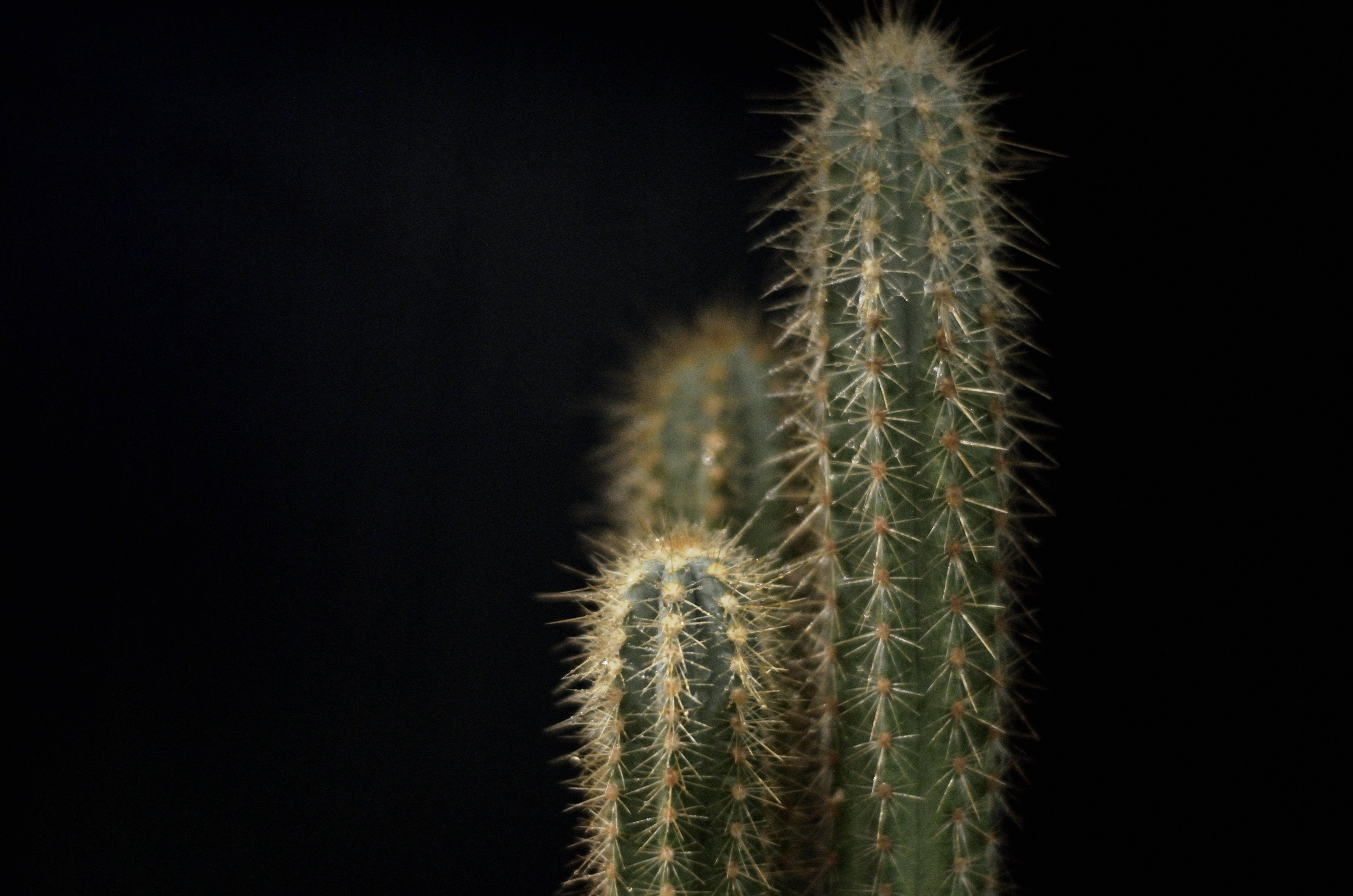 Cactus Plant With Black Background
