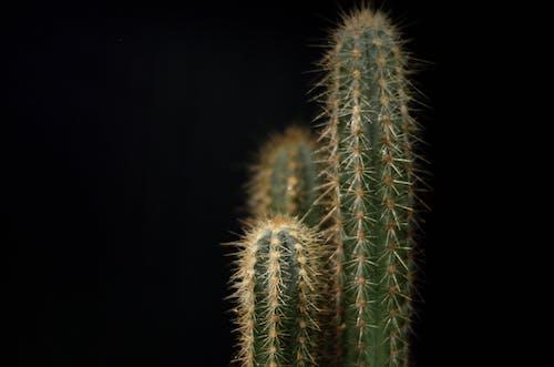 仙人掌, 仙人掌植物, 刺, 尖銳 的 免费素材照片