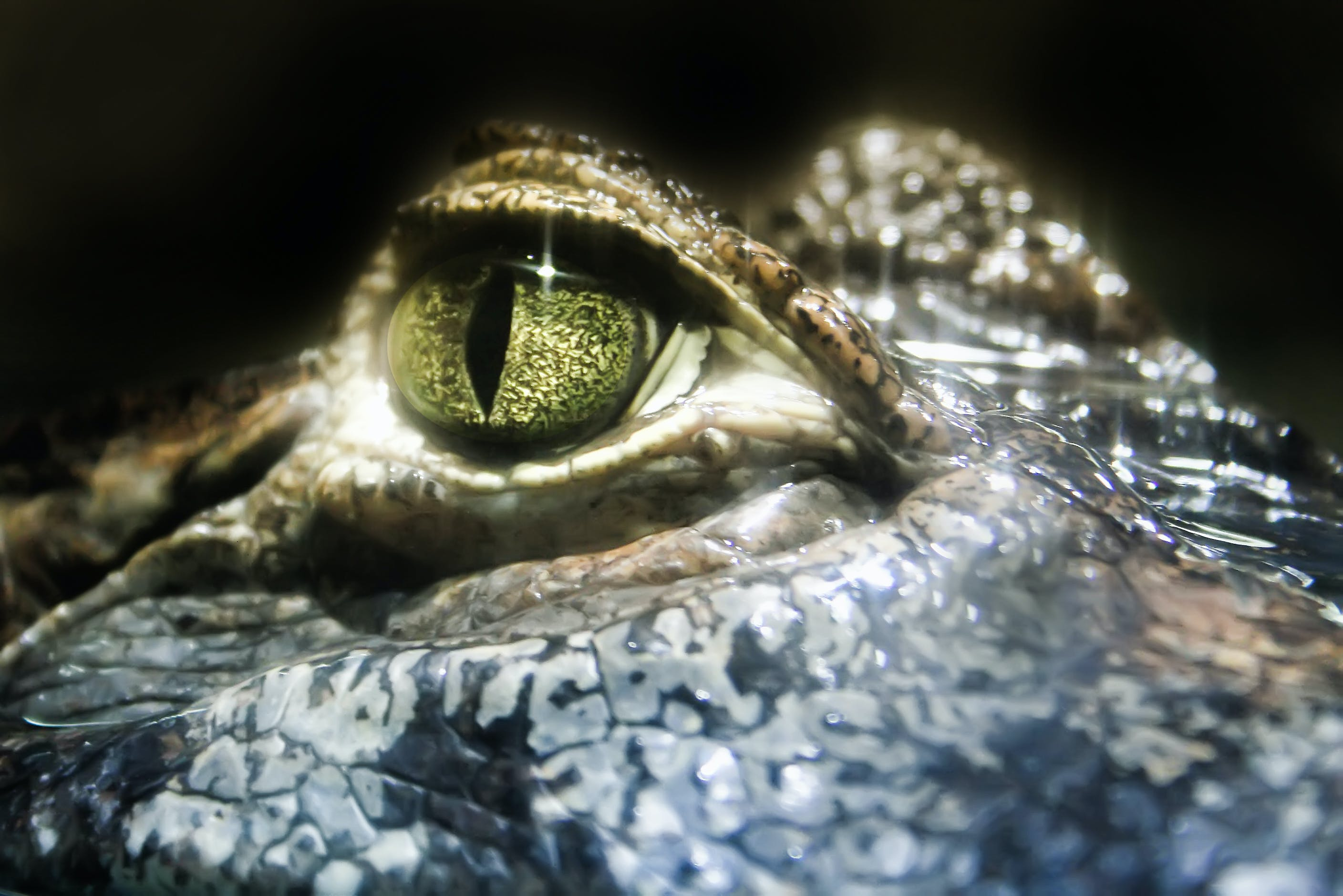 Close-Up Photo of Crocodile Eye