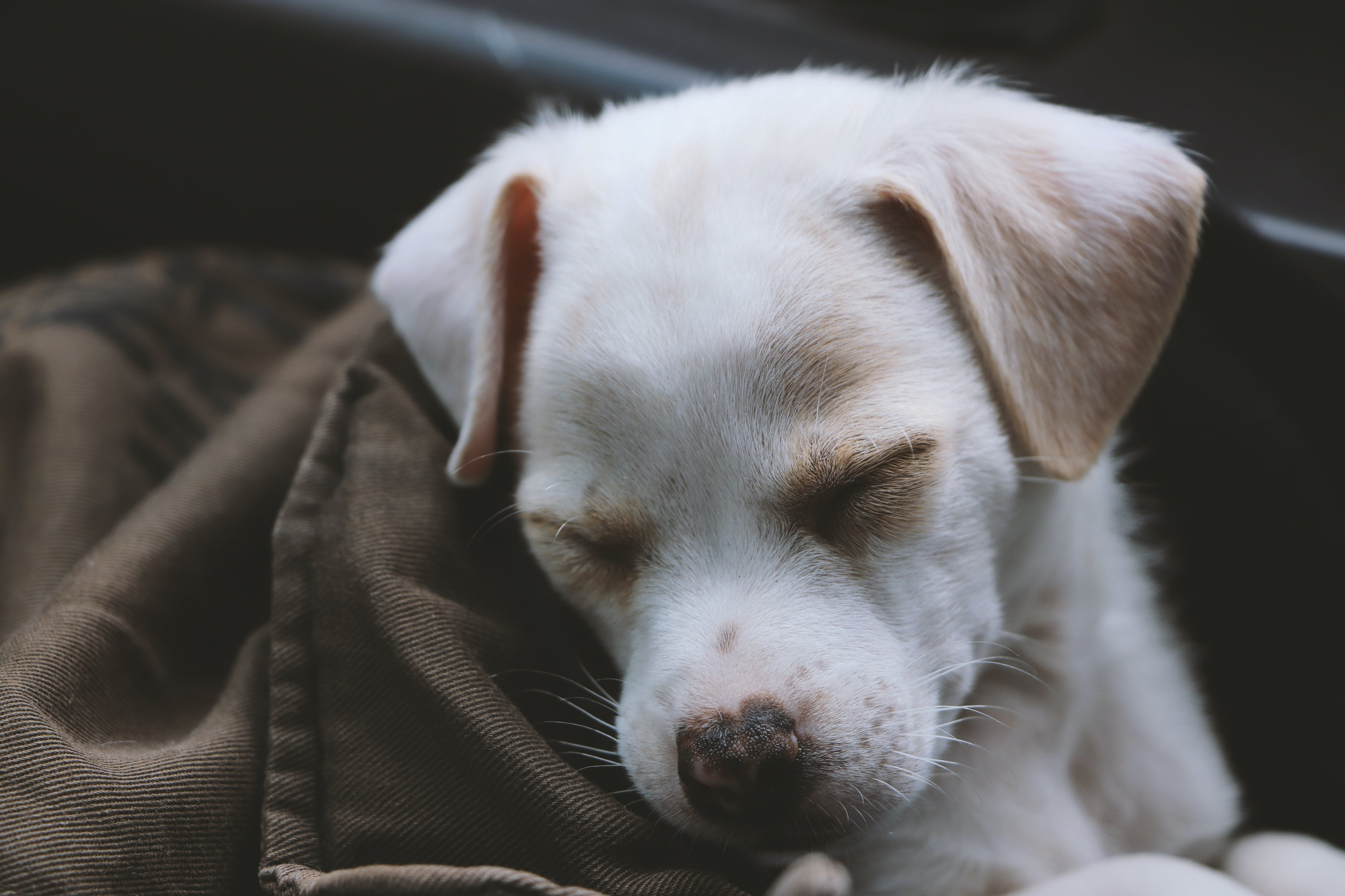 Puppy Covered With Brown Blanket