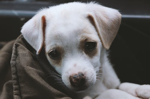 Closeup Photo Of Short-coated White Puppy