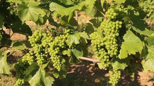 Free stock photo of culture, grape vine, green, nature
