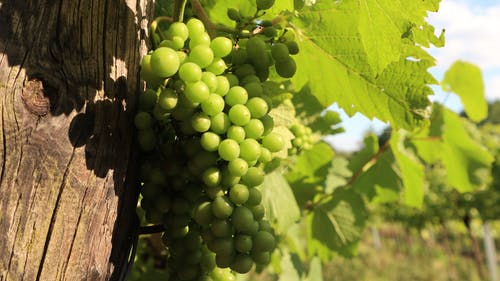 Free stock photo of culture, grapevines, green, nature
