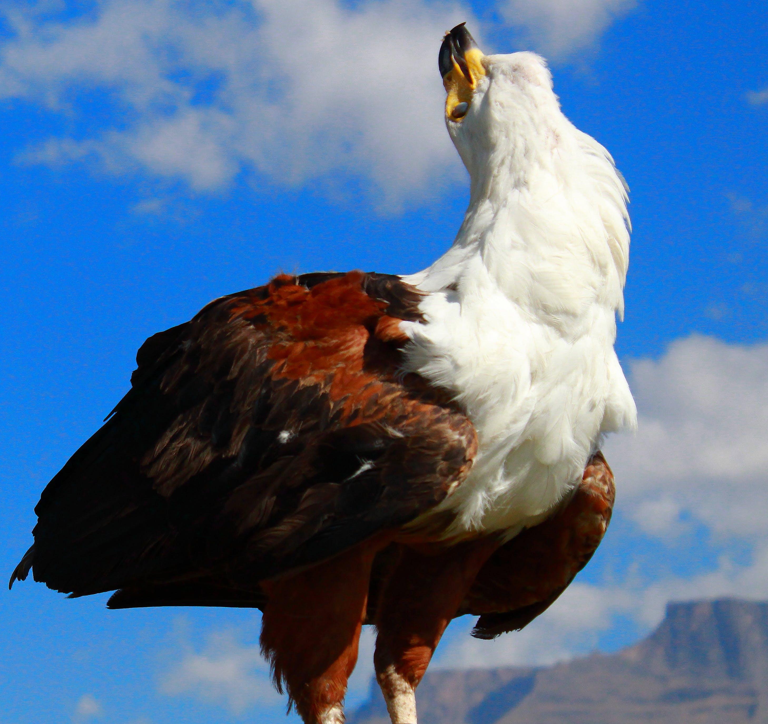 Free stock photo of fish eagle