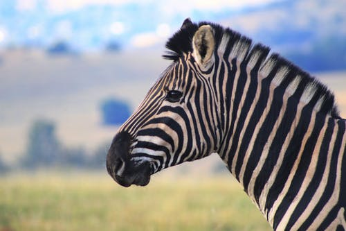 Základová fotografie zdarma na téma zebra