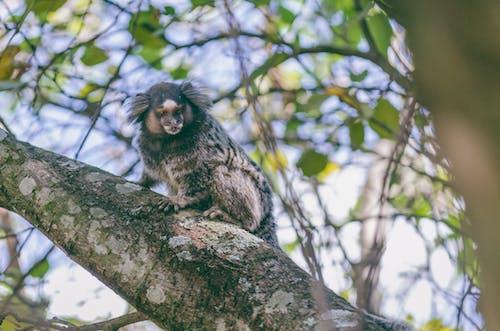 คลังภาพถ่ายฟรี ของ macaco, การถ่ายภาพสัตว์ป่า, ธรรมชาติ, ลิง