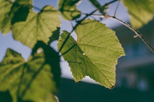 คลังภาพถ่ายฟรี ของ ต้นองุ่น, ธรรมชาติ, พืช, ใบไม้