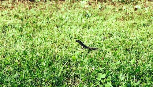 Free stock photo of grass, lizard