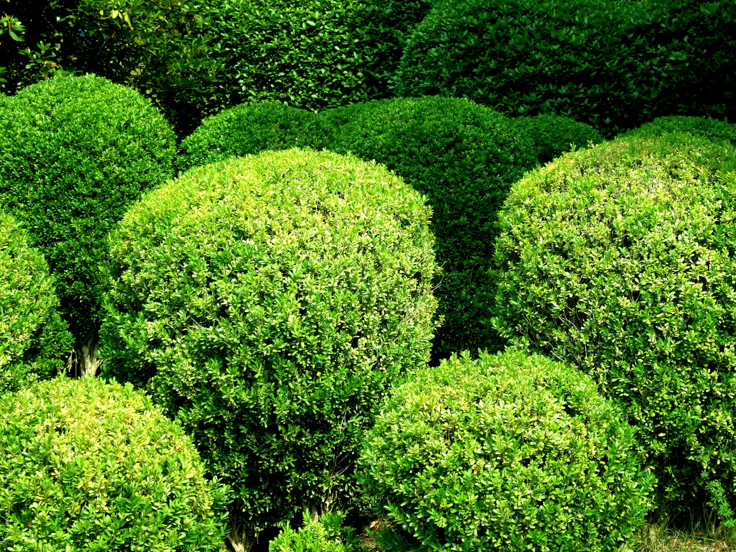 Free stock photo of botanical garden, bushes, round bushes