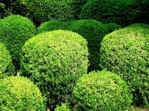 Free stock photo of botanical garden, bushes, round bushes