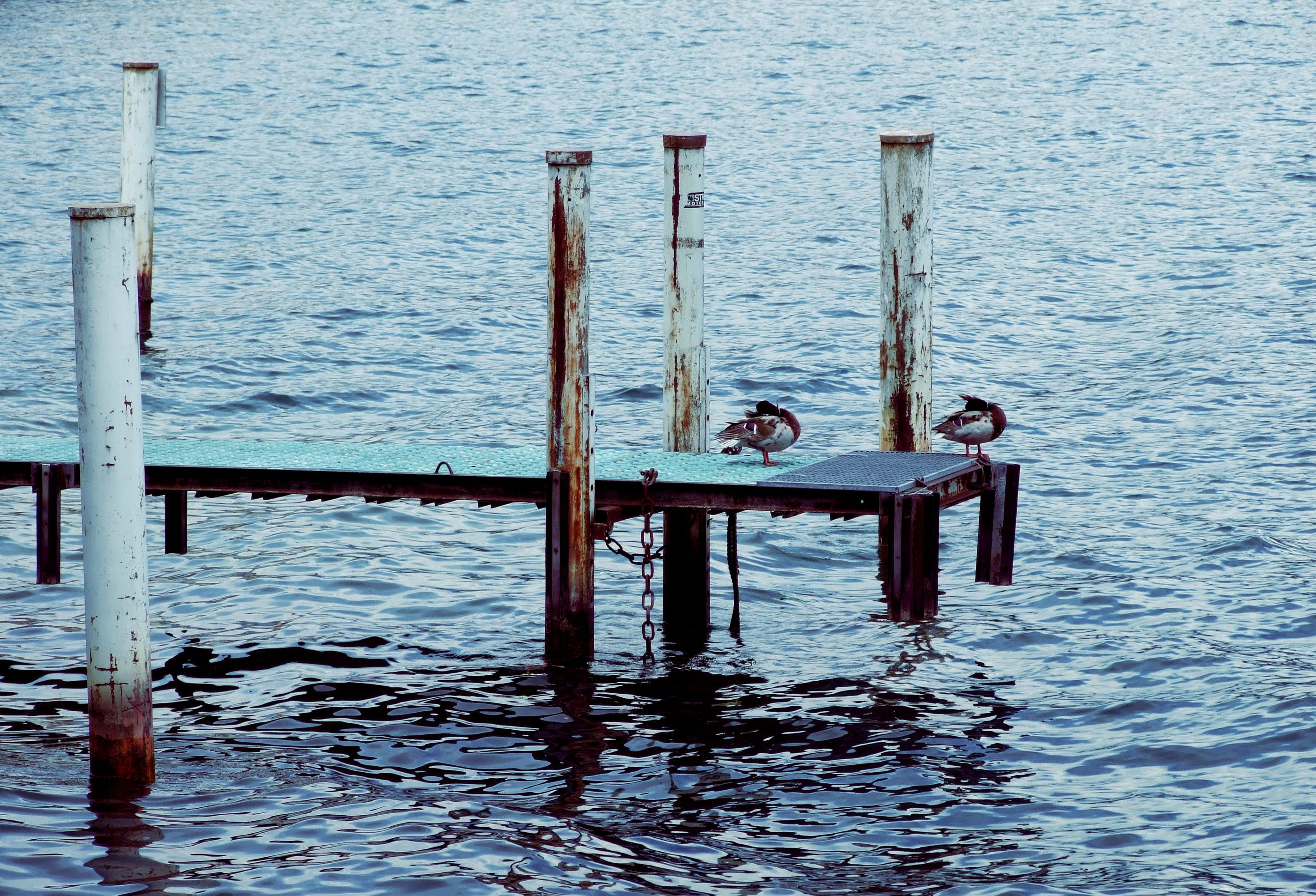 Free stock photo of ducks, lake, pier