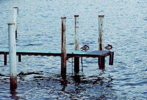 Free stock photo of ducks, pier