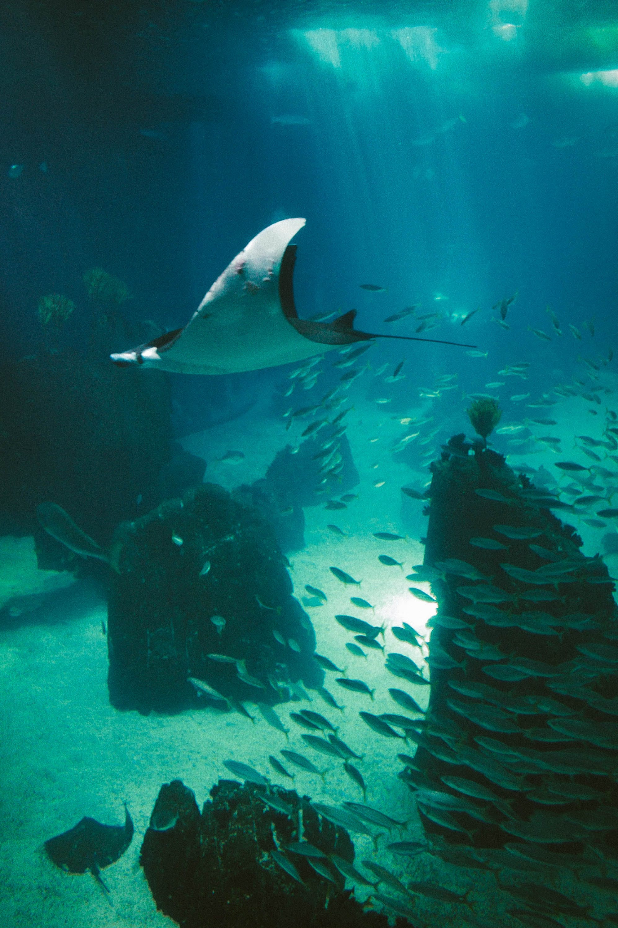 Free stock photo of deep ocean, fish, light beam, manta ray