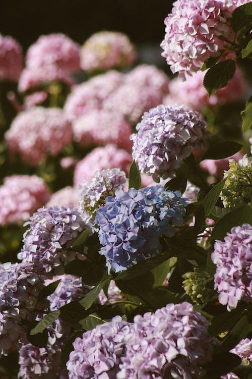Бесплатное стоковое фото с ботанический, букет цветов, гортензия, дневное время