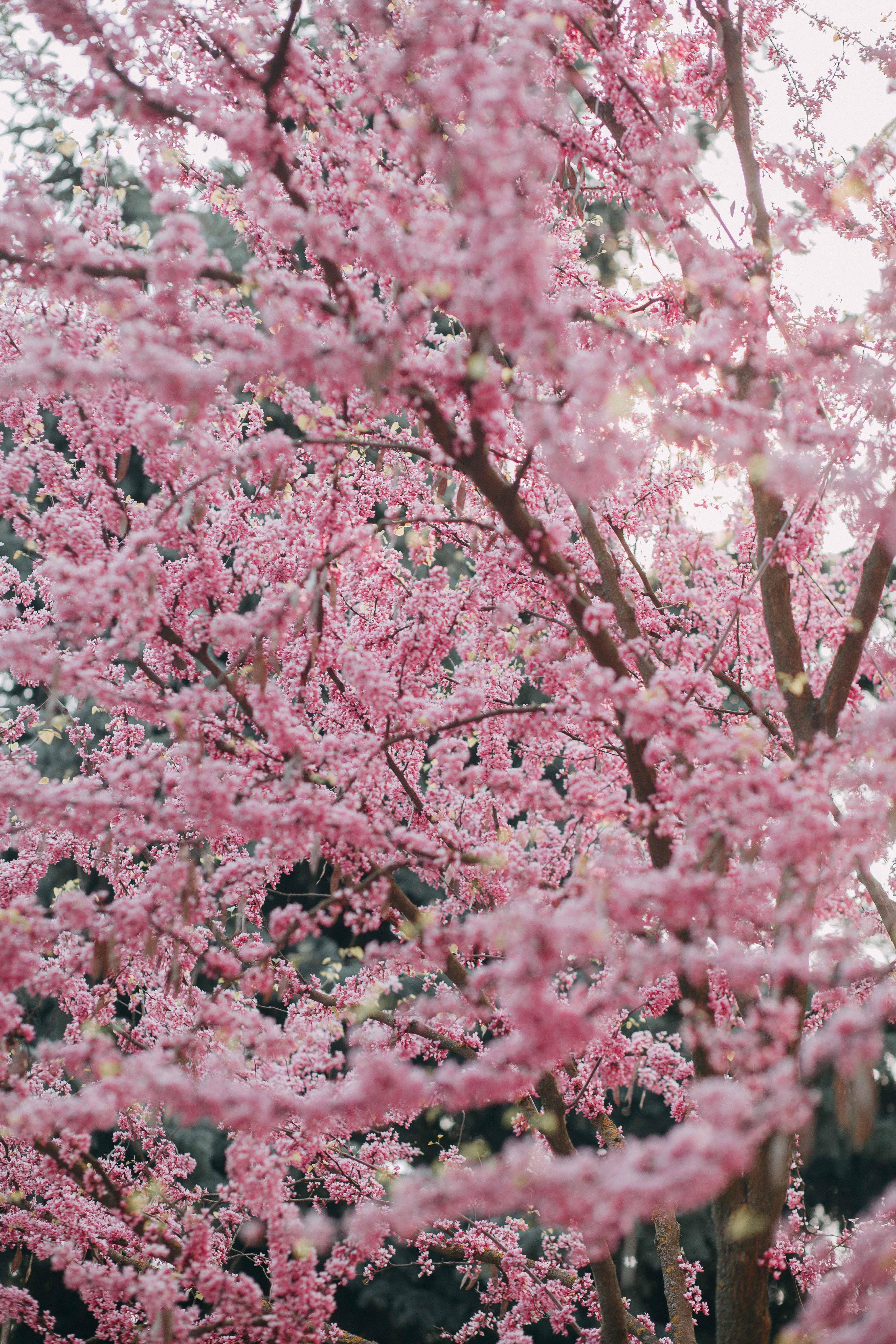 Free stock photo of cherry blossoms, nature, pink, sakura