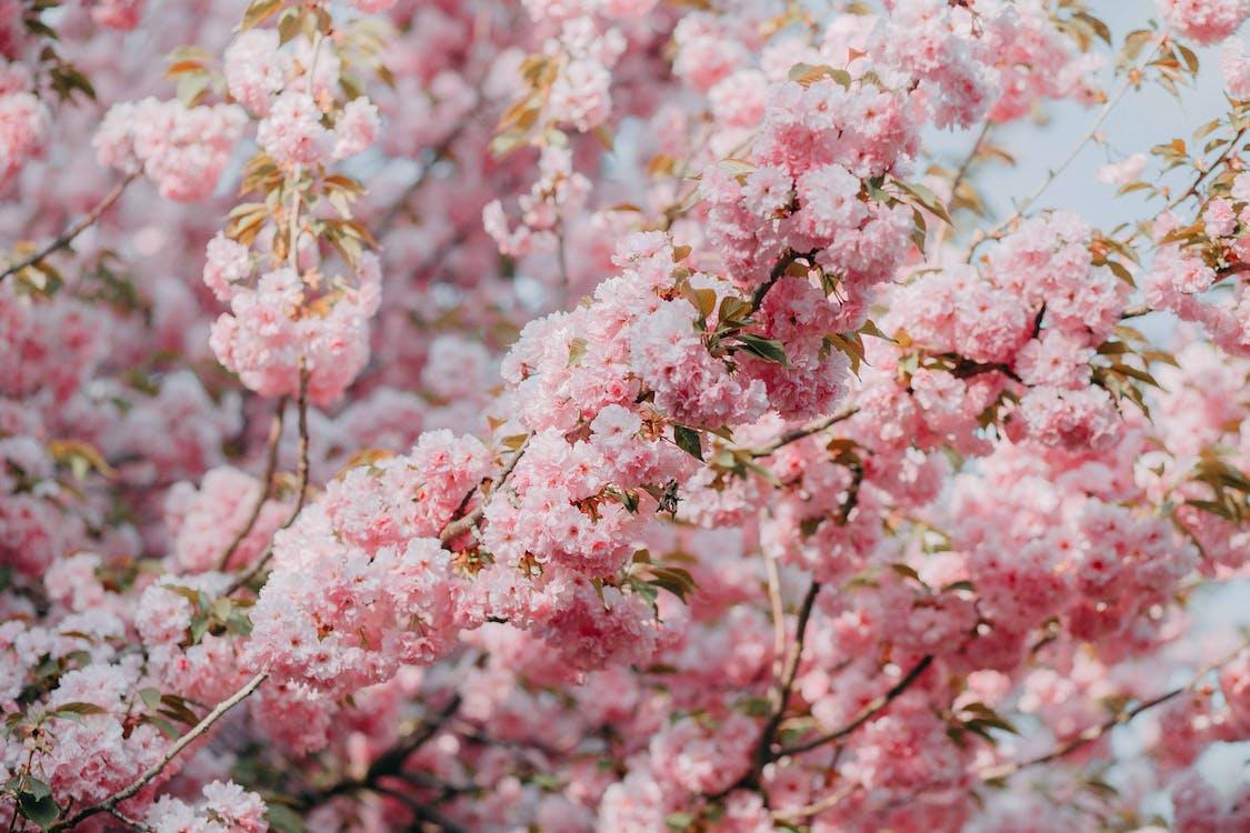 kirsebærblomst, kirsebærblomster, natur
