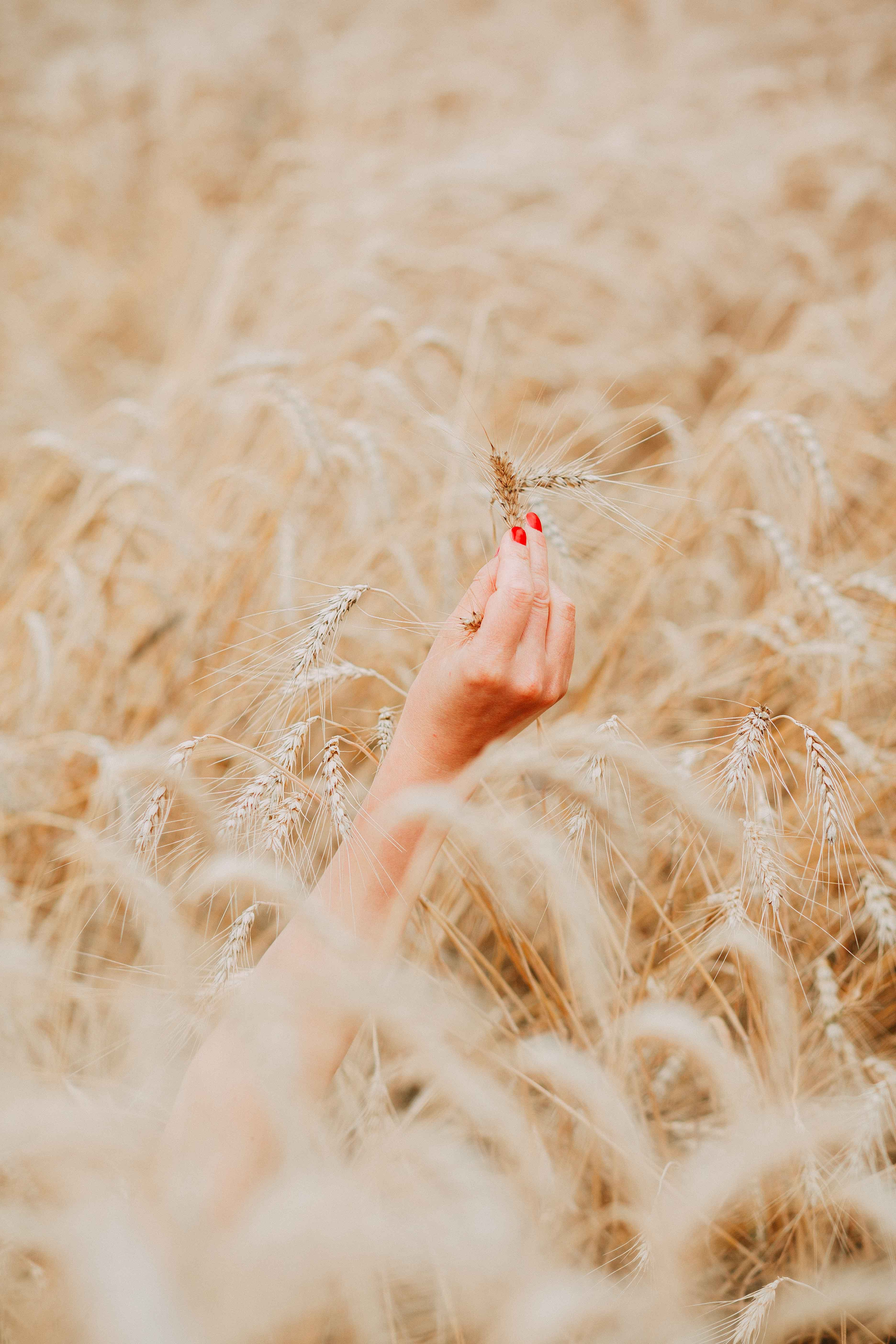Person's Right Hand Holding Brown Wheat Plant