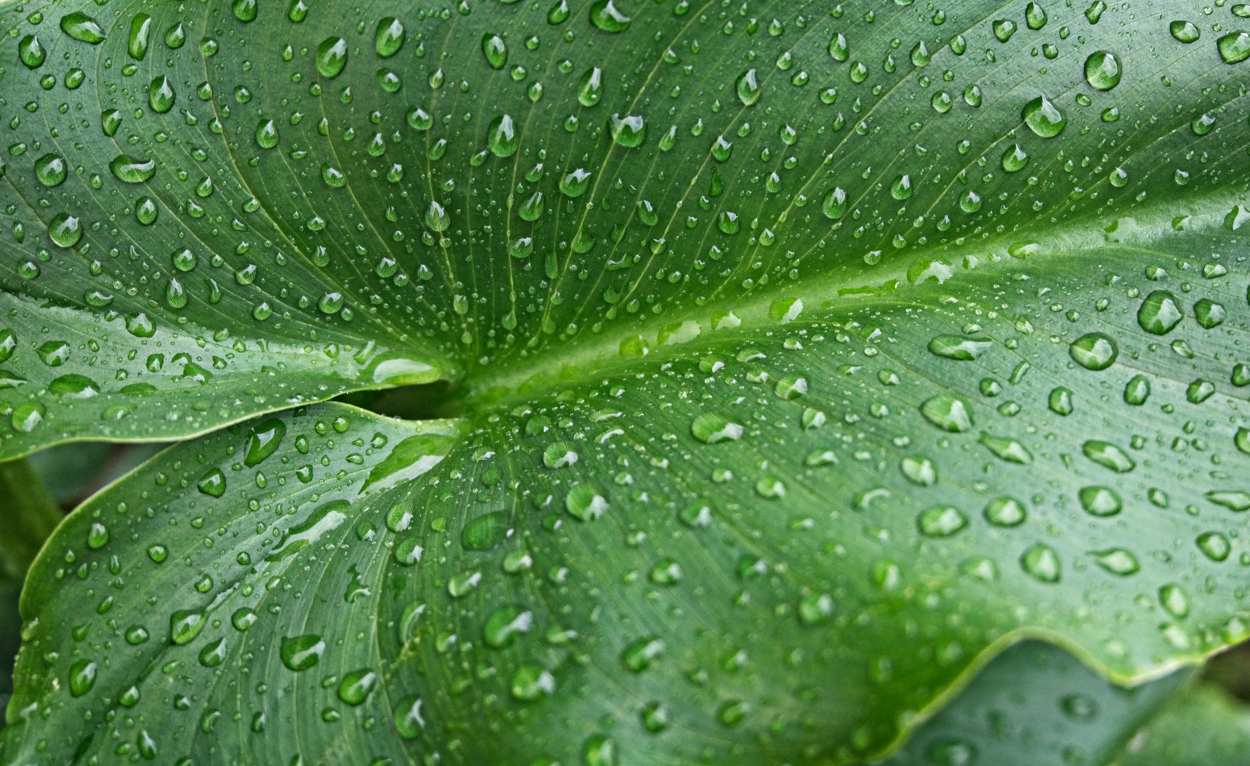Free stock photo of leaf, Lilly, nature, rain