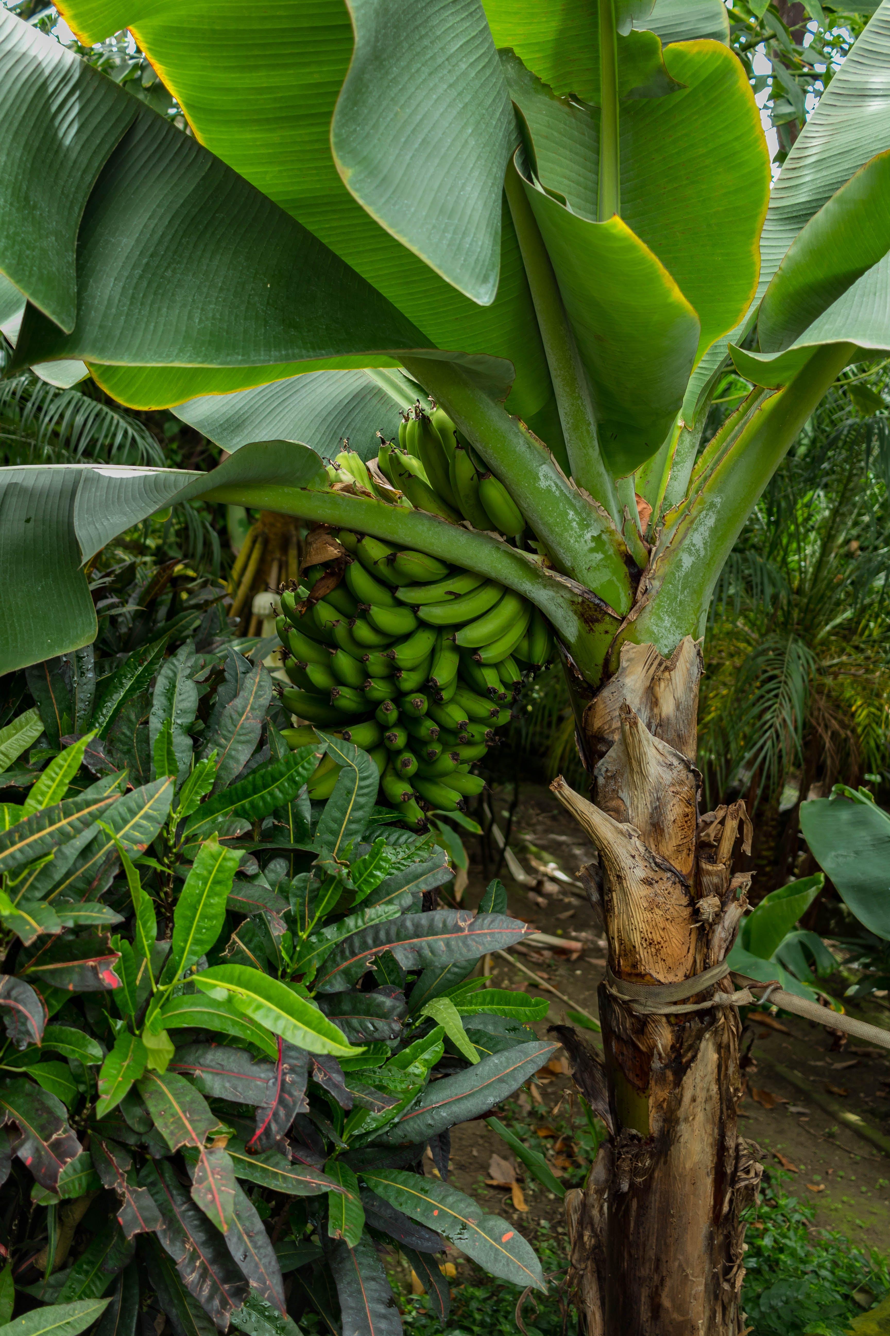 Kostenloses Stock Foto zu ast, bana, banane, bananenbaum
